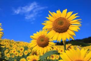 Sunflowers_Fields_438938
